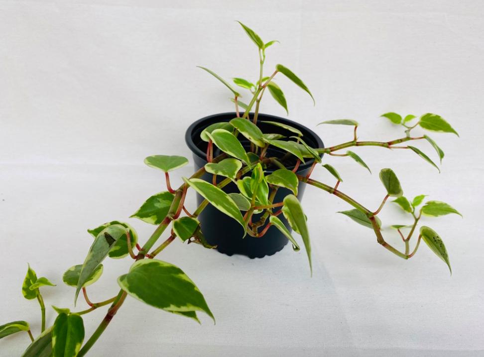 Hiedra. hedera- algeriensis