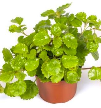 Plectranthus (Planta del dinero)