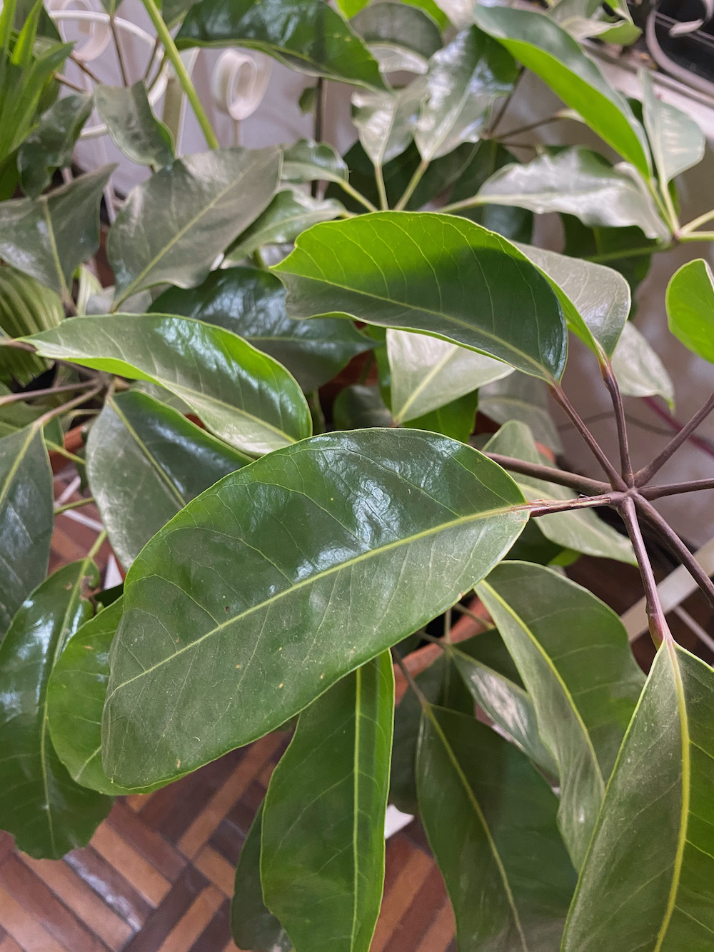 Scheflera verde o macho