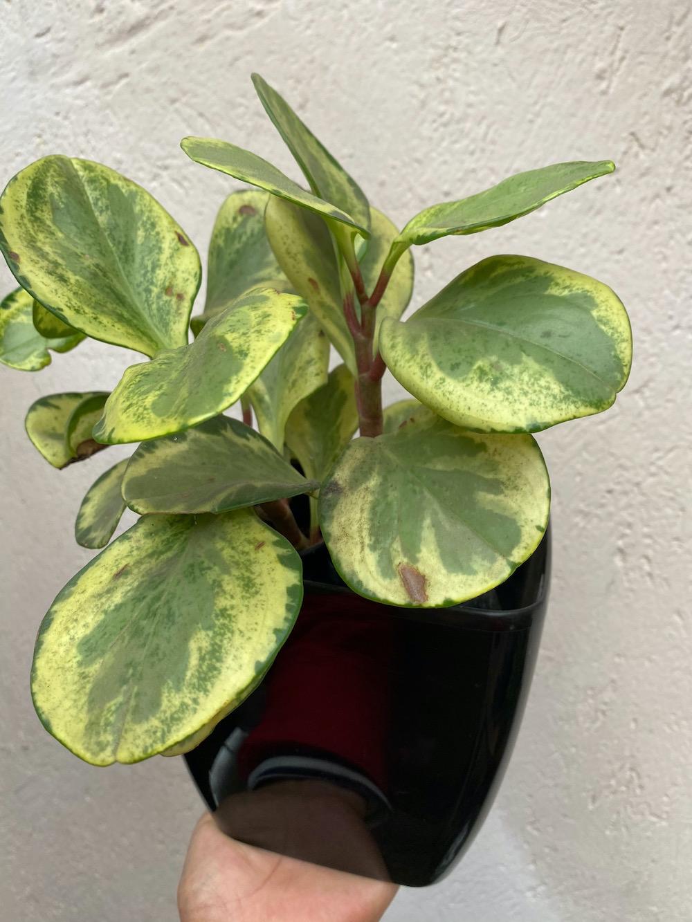 Peperonia Obtusifolia